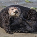 California Sea Otter (Enhydra lutris) by Don Dunning