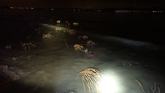 Living sea fans at Changi Coastal Boardwalk
