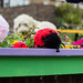 Scotland's Gardens Craigintinney Telferton July 2018 -44