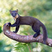 Pine Marten by Chas Moonie-Wild Photography