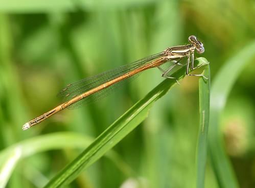 Orange Featherleg (Platycnemis acutipennis)