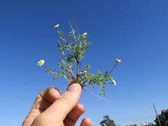 Cotula turbinata plant NC6
