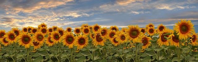 Panorama - Sonnenblumen