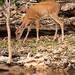 Evening Deer Sighting