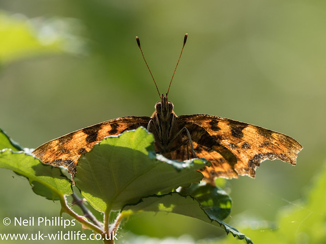 comma backlit