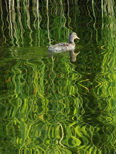Jarry park pond Montreal, Panasonic DMC-ZS60