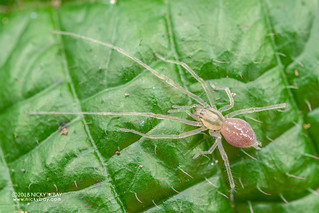 Sac spider (Cheiracanthium cf. leucophaeum) - DSC_6973
