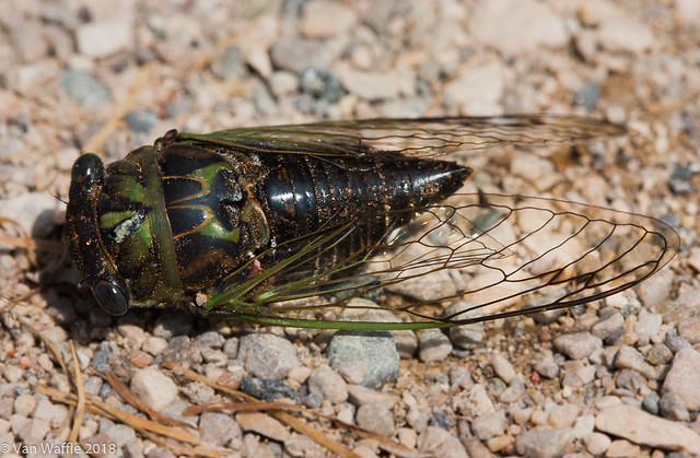 Neotibicen canicularis, dog day cicada