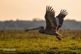 Pink-backed pelican (Pelecanus rufescens) - DSC_6601