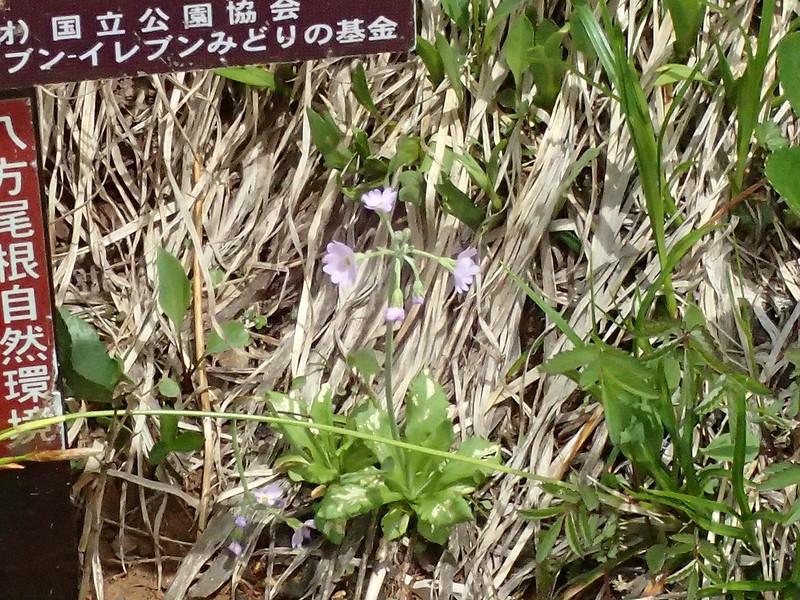 P7131011MHユキワリソウ
