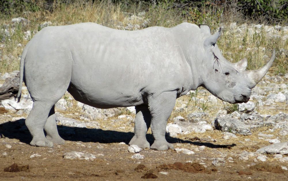 white-rhino-etosha