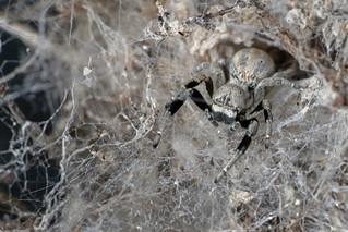 Social velvet spider (Stegodyphus sp.) - DSC_6634