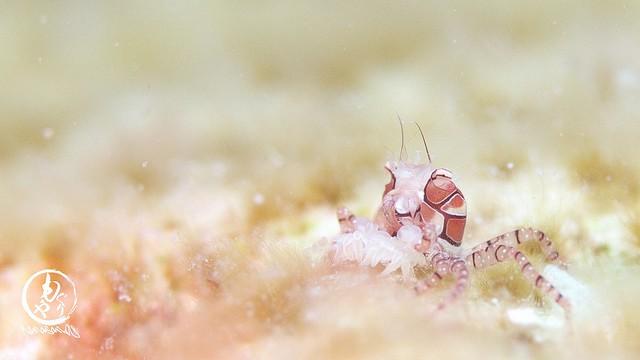 草原の中のエロ目。キンチャクガニ