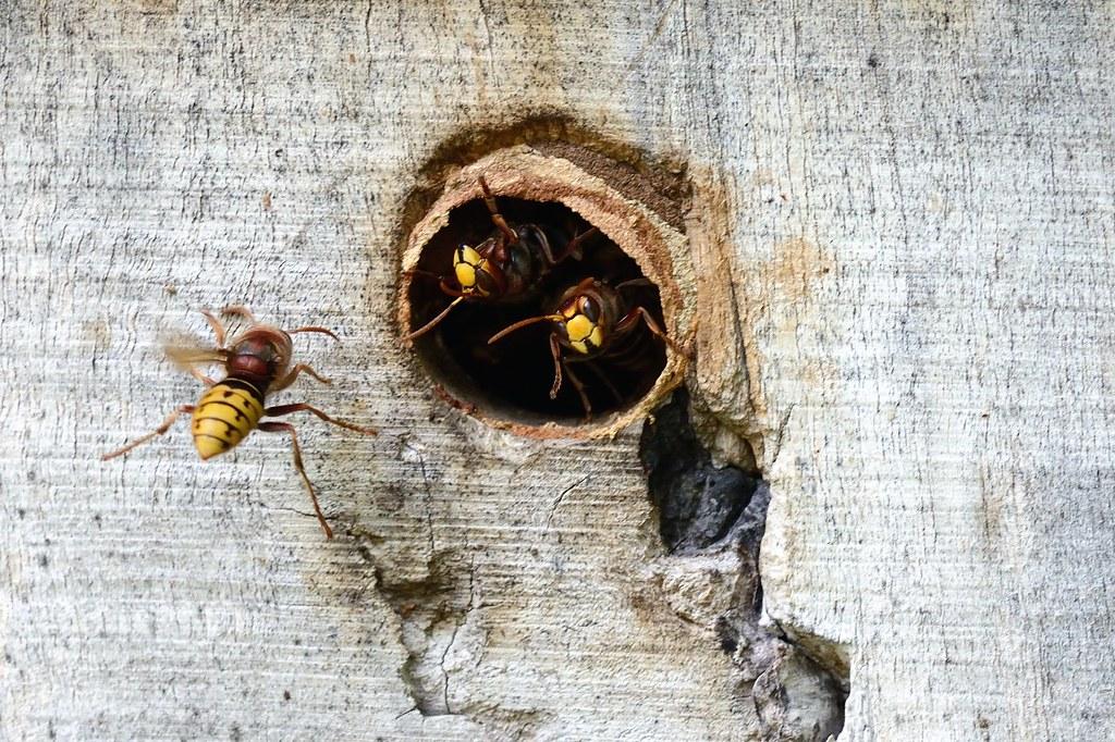 Auch Hornissen brauchen eine Klimaanlage