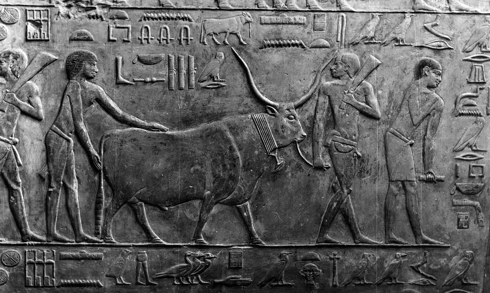 Саккара. Мастаба Птаххотепа. Рельеф с изображением крупного рогатого скота и птицы на восточной стене