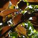 Leaves - Botolphs (46)