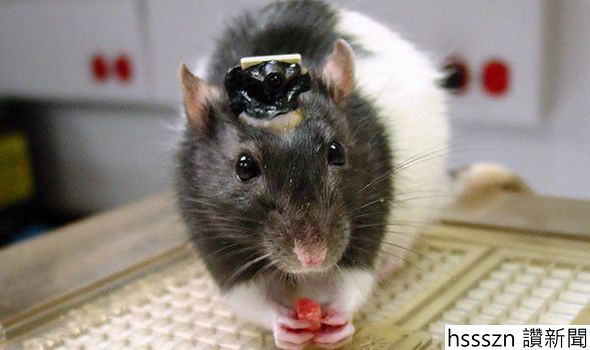 rats-with-human-brains-ethical-horror-as-humanrodent-hybrids-created-in-lab_590_350