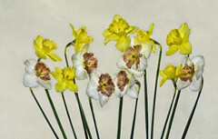 daffodil2texture