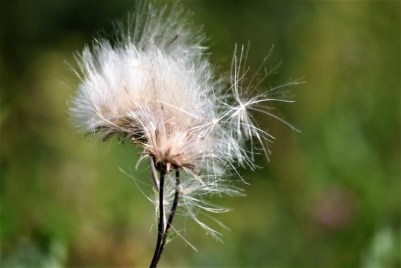 Dandelion Seed heads 23.07 (3)