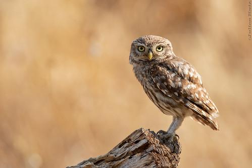 Chevêche d'Athéna Athene noctua - Little Owl