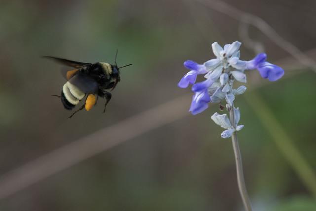 Bumblebee in flight, Nikon D850, AF-S Nikkor 300mm f/4E PF ED VR