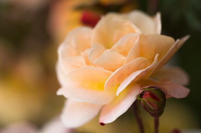 une vraie rose est éternelle