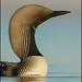 Pacific Loon (Gavia pacifica) by Glenn Bartley - www.glennbartley.com