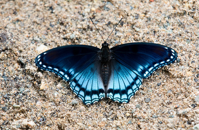 Red Spotted Purple?