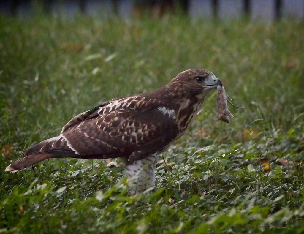 Tompkins fledgling with prey