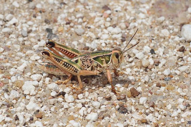 Plains Lubber Grasshopper, Canon EOS 7D, Canon EF 200mm f/2.8L II