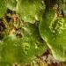 Crescent-cup Liverwort - Lunularia cruciata