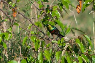 Marico Sunbird - Kenya_IMG_5409