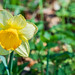 Daffodil ( Panasonic Lumix TZ200) (1 of 1)