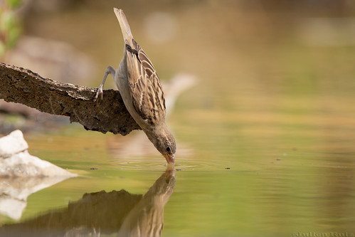 Moineau domestique Passer domesticus - House Sparrow