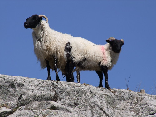 Clare Island, County Mayo, sheep