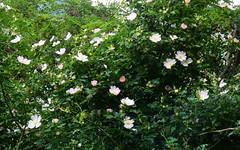 Rosa_canina en flor