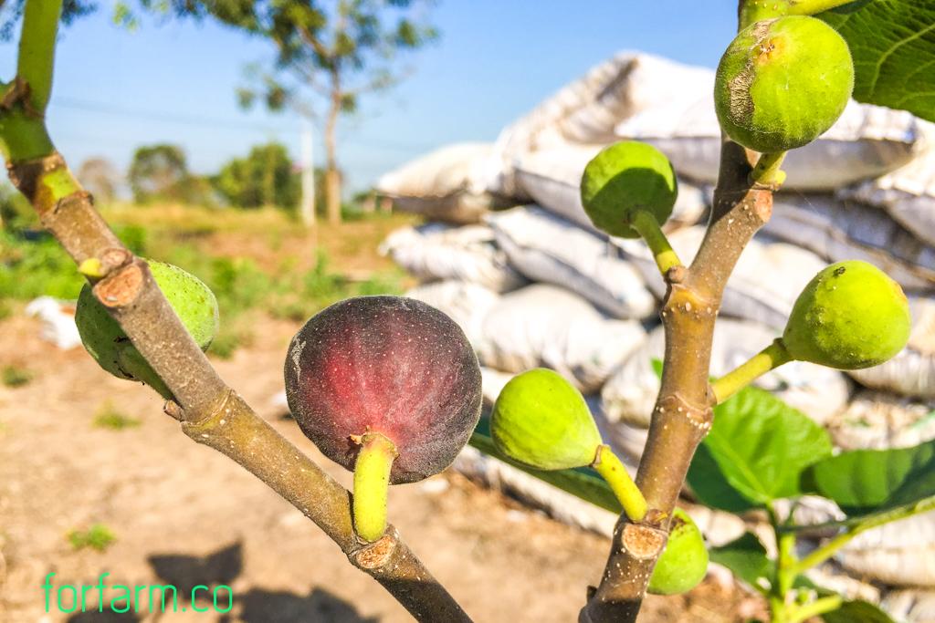 มะเดื่อฝรั่ง (figs) ติดลูกแล้ว
