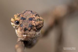 Nose-horned chameleon (Calumma nasutum) - DSC_6960