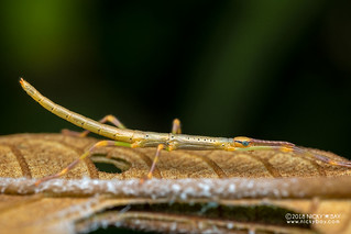 Stick insect nymph (Leiophasma sp.) - DSC_7443