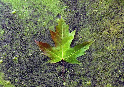 green swamp leaves mapleleaf nature