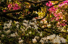 Azaleas Under a Dogwood Tree