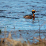 Horned grebe (Podiceps auritus), April 21, 2018