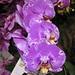 蝴蝶蘭-富樂之星 Phalaenopsis Fuller's 3545  [香港蘭花節 Hong Kong Orchid Festival]