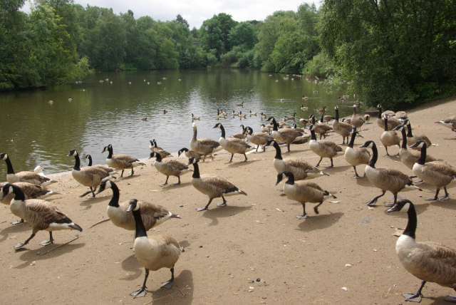 A large flock of Canada geese by the boating lake in Heaton Park in Manchester, England. They are approaching someone to beg for food, a learned behavior. Photo taken by Stephen McKay on July 8, 2007.