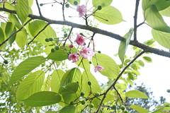 敵人的櫻花