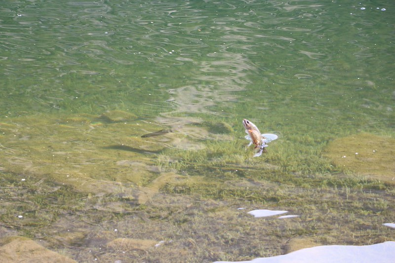 I couldn't believe it but I lucked out and caught a trout jumping out of the water at Black Lake