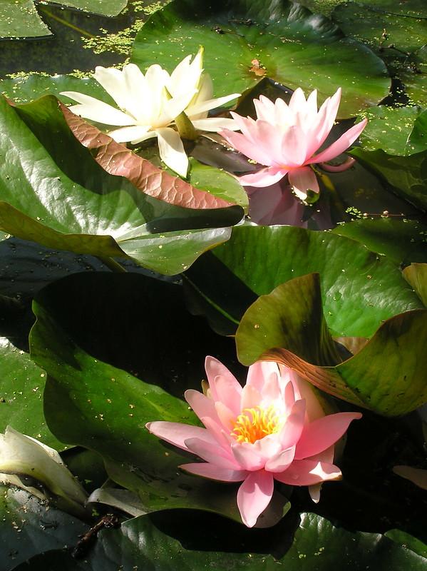 Nymphaea 'Rose Arey'