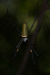 Golden Silk Orb-weaver (Nephila sp.)