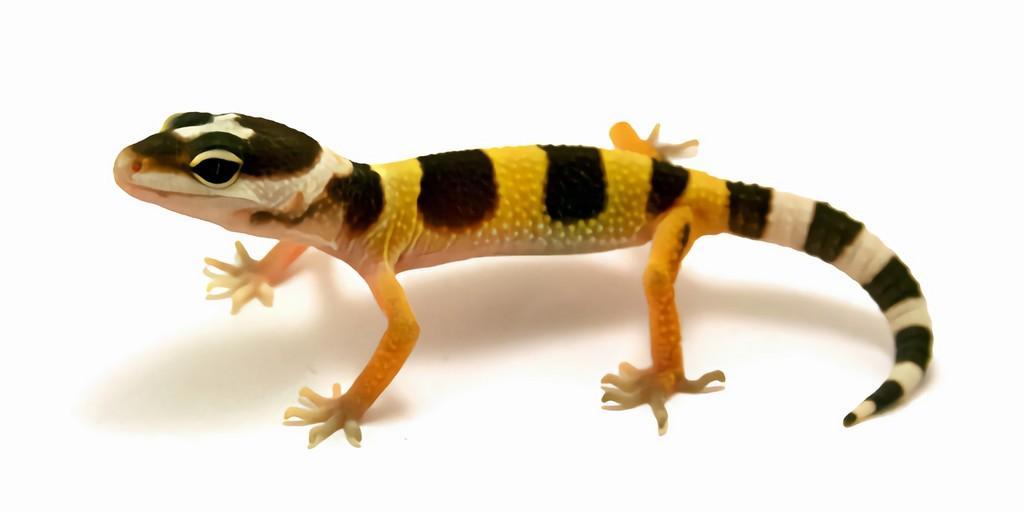 Cellules souches : Les geckos peuvent créer de nouveaux neurones