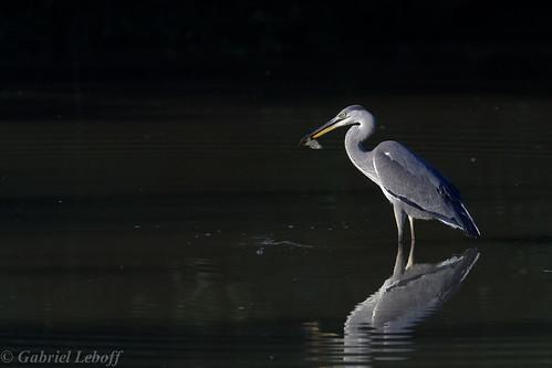 Héron cendré-Ardea cinerea - Grey Heron 0315_DxO.jpg